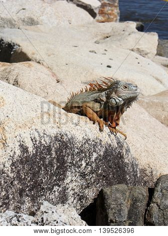 Iguana peeking from the rocks, tropical wildlife