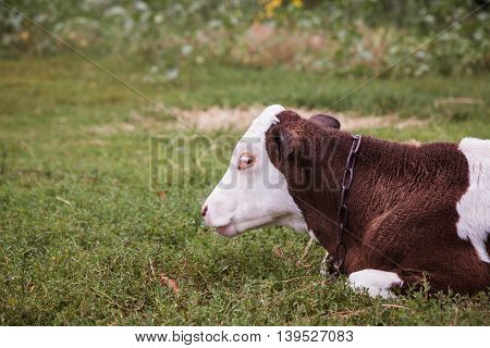 Cow Lying Down In A Meadow
