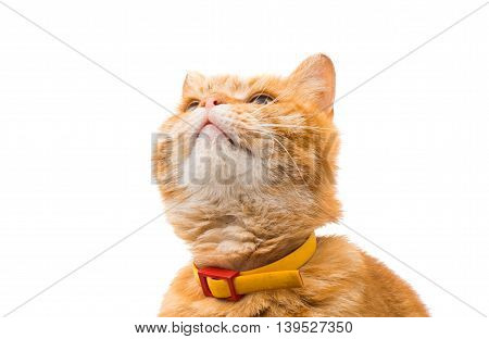 ginger cat brown isolated on white background