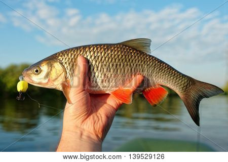 Chub in fisherman's hand shot against river landscape