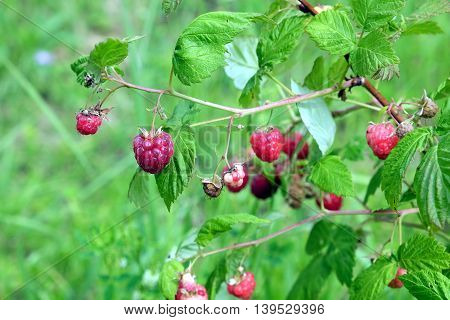 Ripe berries red raspberry in the garden hidden in the dense green leaves on a summer day close-up