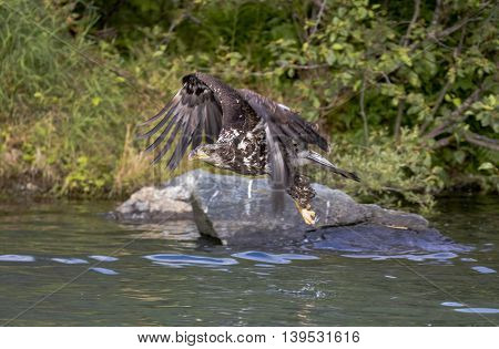 Eagle flies over the water while hunting for salmon