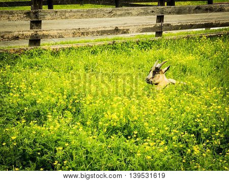 Goat lying down and eating grass in a field of yellow flowers
