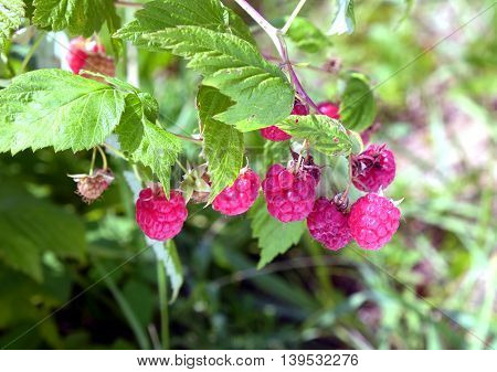 Ripe berries red raspberries in the garden hidden in the dense green leaves on a summer day close-up