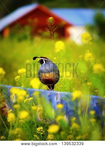 Quail on fence amongst flowers with red barn in background