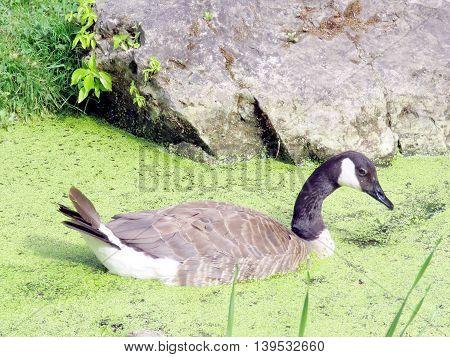 Canadian goose in pond in garden of Niagara Falls Ontario, Canada
