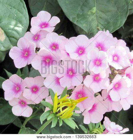 Phlox flower in garden of Niagara Falls Ontario, Canada