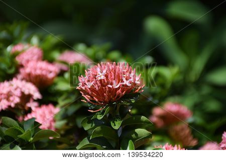A Red Ixora flowers in thailand. Macro image