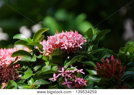 A Red Ixora flowers in thailand. Macro picture