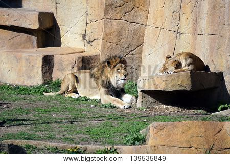 A pair of African lions (Panthera leo) relaxes together during the afternoon.