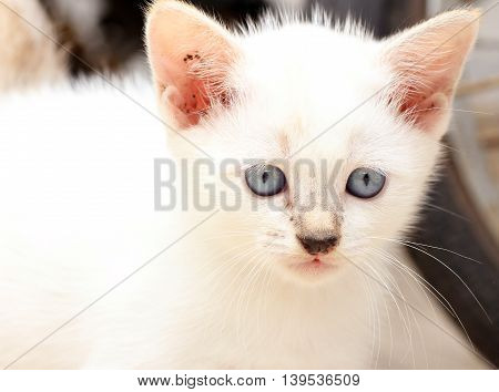 A cute blue eye kitten with sharp eyes.