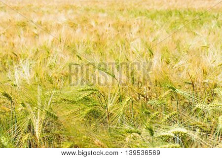 Wheat field illuminated by rays of the setting sun