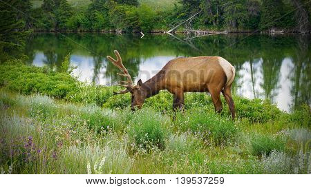 Male Elk in National Park enjoy eating