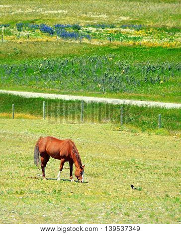 Chestnut horse grazing grass out in the field