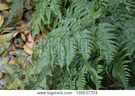 fresh green Davallia solida plants in nature garden