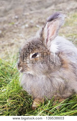 The Angora rabbit is a variety of domestic rabbit bred for its long soft wool.
