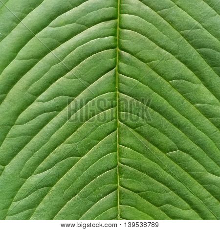 Beautiful green leaf texture in plain as background