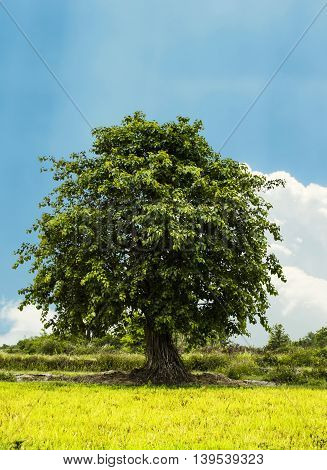 Big bodhi tree with blue sky background