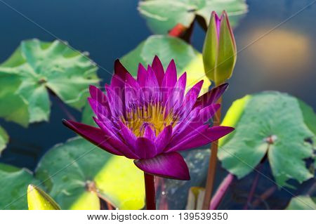 Two lotus color purple with green leaf thailand
