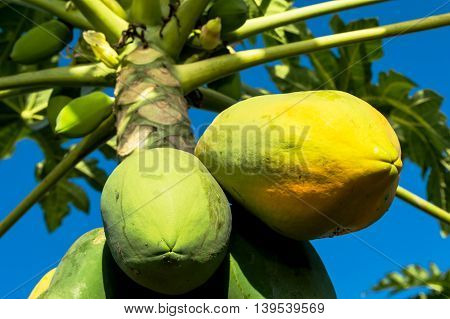 clouse up papaya tree on blue sky background