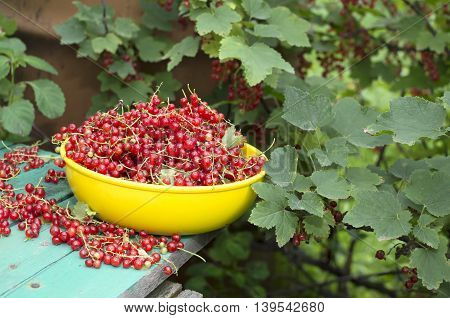 Red currant in the yellow bowl on the table in the garden