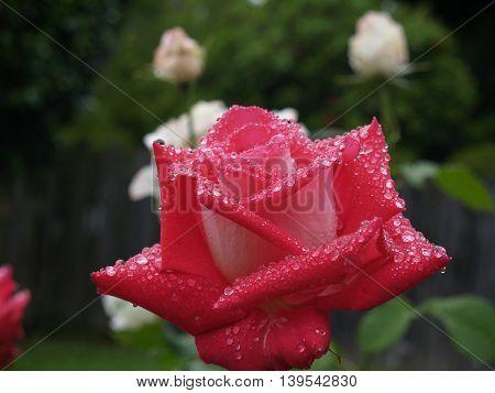Rose in the rain in Portland showers