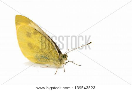 butterfly  fragility, macro isolated on white background