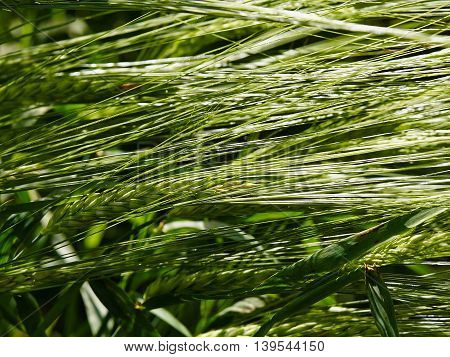Green wheat field on a sunny summer day agriculture background image