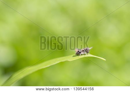 The baby brown grasshopper on the grass leaf