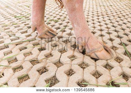 Close Up Feet Of Albino Water Buffalo