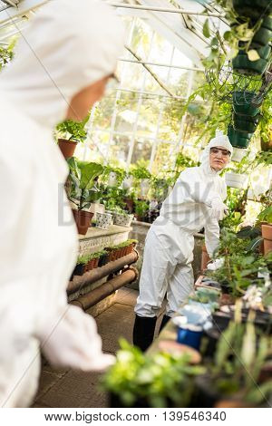 Female coworkers in clean suit working at greenhouse