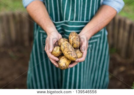 Midsection of male gardener holding harvested potatoes at green house