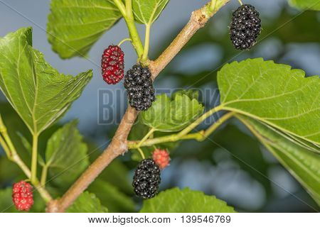 Black mulberry on a tree.  This picture was taken in a garden not far from Kiev.