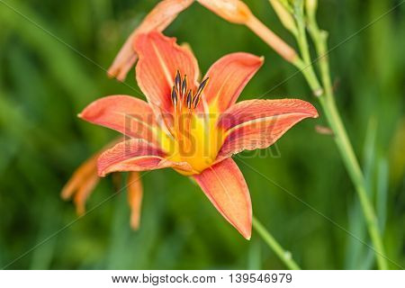 Flower of daylily.  This picture was taken in a garden not far from Kiev.