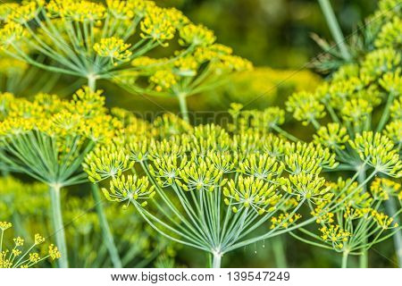 Flowering dill.  This picture was taken in a garden not far from Kiev.