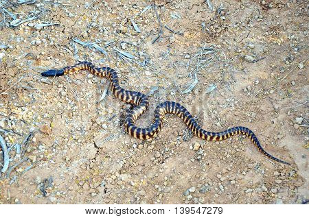 Black headed python (Aspidites melanocephalus) in outback Queensland, Australia