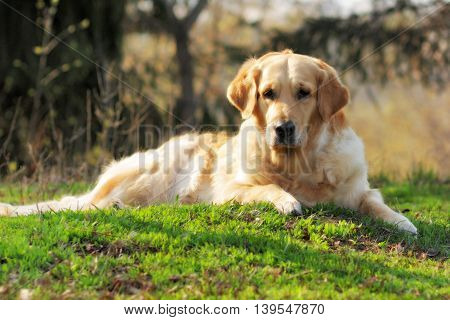 Golden Retriever dog lying in the summer grass and looking at the camera