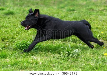 black dog Labrador Retriever runs fast in the summer on the green grass