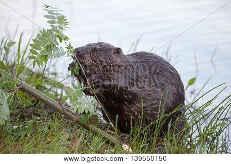 beautiful beaver close by the river sitting on green grass and chewing on the branch