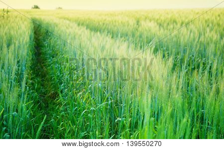 big green field of ripening wheat on
