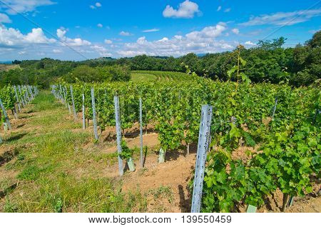 hill covered with vines with traditional methods and available in a semicircle along the contour according to the Tuscan farming culture