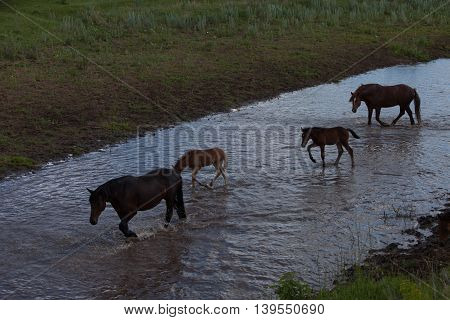 beautiful horse drinking water in the evening on the banks of the river
