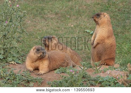 marmots bask in the warm sun on a green meadow beside his hole