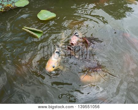 Feeding Koi Fish And Catfish At Pond In The Garden