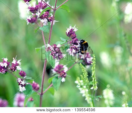 Striped colorful bumblebee collect pollen on blossom field wlowers on blur backgound closeup