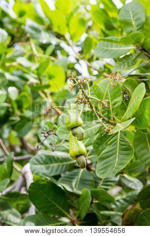 Cashews growing in a tree on Aruba