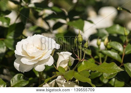 isolated white tea rose with buds in garden