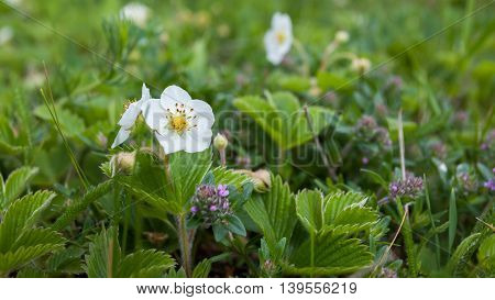 Flower of wild strawberry on background of green leaves and grass