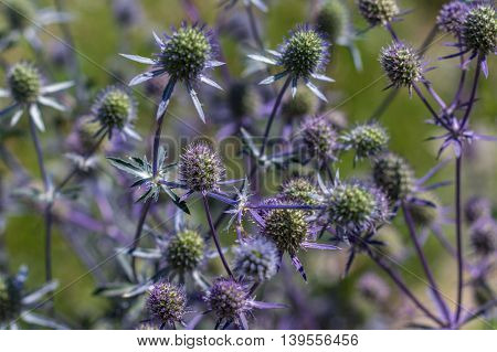 Blue Sea Thistle Flower / Sea Holly