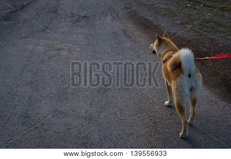 Japanese Akita on leash walking on concrete
